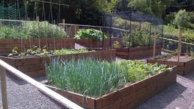 Raised beds on sloping veg garden. Fruit cage in situ.